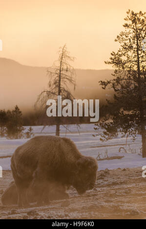 American Bison in frost and snow and fog from the hot springs near Old Faithful Geyser, Yellowstone National Park, - Stock Photo