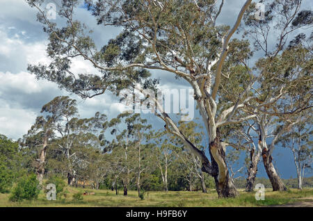 Stand of white bark gumtrees, Eucalyptus, along Shoalhaven River, New South Wales, Australia. Thunderstorm brewing - Stock Photo