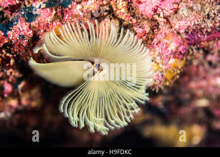 feather duster worms, Sabellastarte japonica Marenzeller, at Owase, Mie Japan. Depth 7m. close up. - Stock Photo