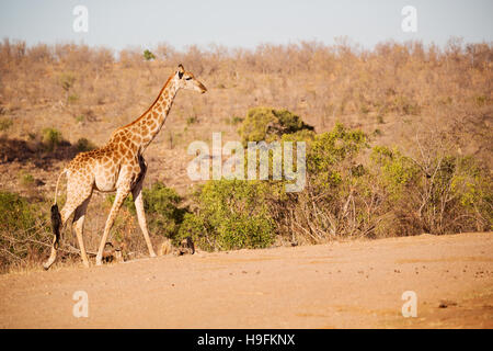 blur in south africa   kruger  wildlife    nature  reserve and  wild giraffe - Stock Photo