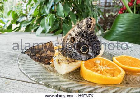 Morpho peleides butterfly on orange and banana fruits - Stock Photo