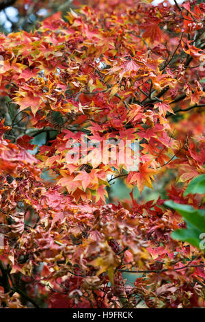 Acer palmatum 'Osakazuki' leaves in Autumn. - Stock Photo
