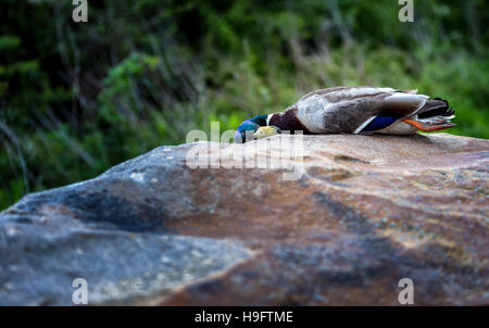dead duck - Stock Photo