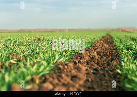 Young green wheat growing in soil. Young wheat seedlings growing in a field. - Stock Photo
