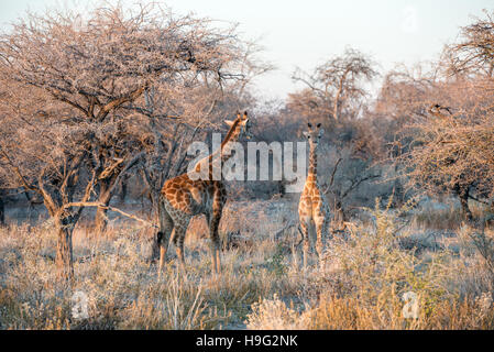 Young funny Namibian giraffe is curiously looking into photographer while his mother is going into savanna woodlands - Stock Photo
