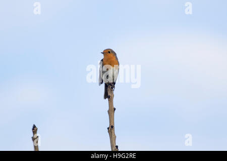 Robin looking left perched on the end of a branch against a blue sky - Stock Photo