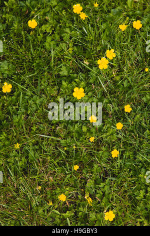 Plant, Flower, Creeping Buttercup, Ranunculus repens, small yellow flowers growing in garden lawn grass. - Stock Photo