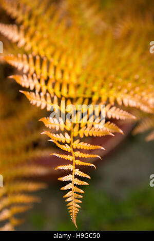 Plant, Autumn Fern, Japanese Shield Fern, Dryopteris erythrosora, bronze coloured new young frond. - Stock Photo
