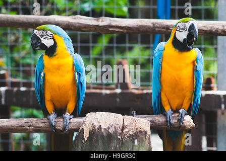A pair of blue-and-yellow macaws at rest on a wooden branch. - Stock Photo