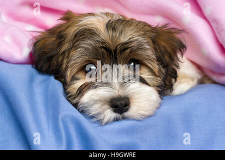 Close-up portrait of a cute little tricolor Havanese puppy dog is lying on a bed under a pink blanket - Stock Photo