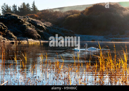 Ardara, County Donegal, Ireland weather. 24th November 2016. Swans glide on Lake Shanaghan on a calm, crisp, cold - Stock Photo