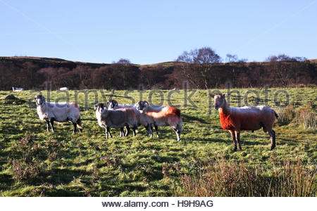 Holwick, Middleton-in-Teesdale, Co Durham, UK. 24th November 2016 Tupping time in the North Pennine hills as the - Stock Photo