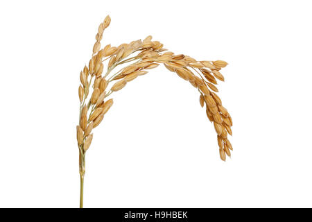 Paddy Rice seed. Isolated on a white background - Stock Photo
