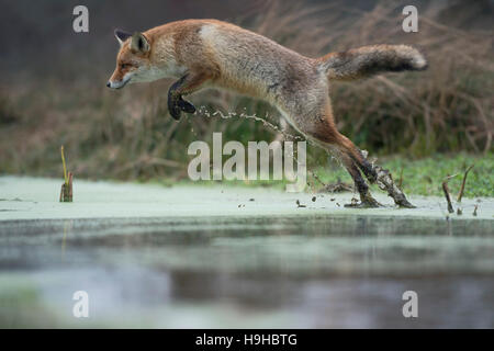 Red Fox / Rotfuchs ( Vulpes vulpes ), adult in winter fur, jumping over a little creek in a swamp, taken from a - Stock Photo