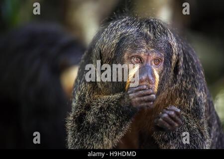 White-faced Saki Monkey eating - Stock Photo