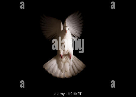 white dove flies out of the darkness into the light - Stock Photo