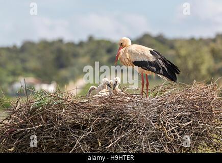 White stork Ciconia ciconia on nest, Algarve, Portugal, Europe - Stock Photo