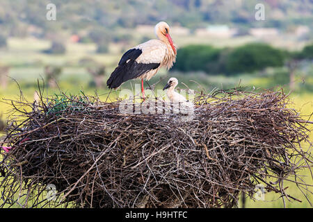 White stork Ciconia ciconia on nest with young, Algarve, Portugal, Europe - Stock Photo