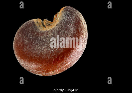 Althaea officinalis, Marsh mallow, Echter Eibisch, seed, close up, seed size 2.5 mm - Stock Photo