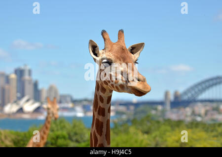 Giraffes in Taronga Zoo against Sydney skyline New South Wales, Australia. - Stock Photo