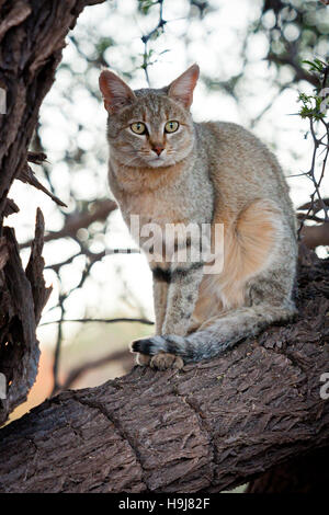 African wild cat (Felis silvestris lybica), searching the plains for a meal - Stock Photo