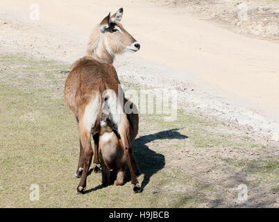 Female Defassa waterbuck (Kobus ellipsiprymnus defassa) with a baby calf drinking milk, seen from behind - Stock Photo