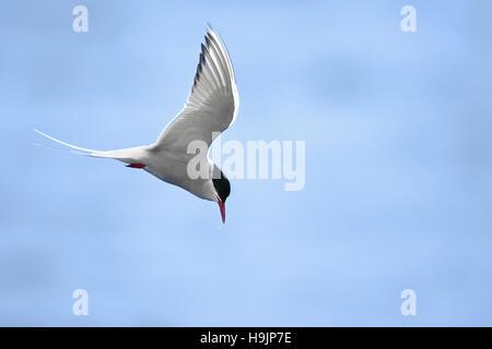 Arctic tern (Sterna paradisaea) male flying over sea against blue sky - Stock Photo