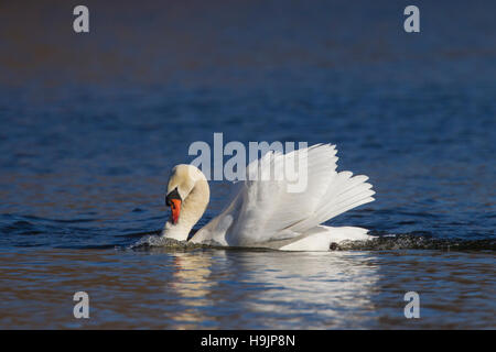 Territorial busking mute swan (Cygnus olor) male in threat display swimming with neck curved back and wings half raised in lake in spring Stock Photo