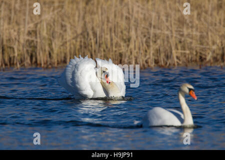 Busking mute swan (Cygnus olor) male in threat display swimming with neck curved back and wings half raised in lake - Stock Photo