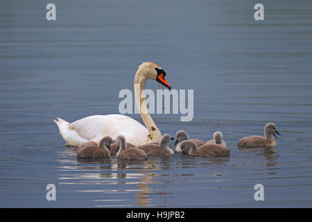 Mute swan (Cygnus olor) with young / cygnets feeding in lake in spring - Stock Photo