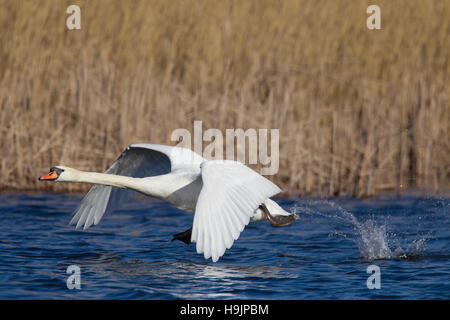 Mute swan (Cygnus olor) male taking off from lake in spring - Stock Photo