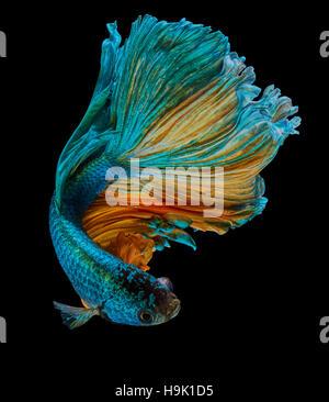 betta fish, siamese fighting fish 'Half moon' isolated on black background - Stock Photo