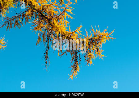 Detail of needles and cones of Japanes larch (Larix kaempferi) in autumn colours against a deep blue sky at Boltby - Stock Photo