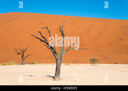 Dead camel or giraffe thorn (Acacia erioloba) trees in front of sand dunes, Dead Vlei, Sossusvlei, Namib Desert - Stock Photo