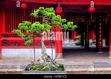 Cam sanh tree in the fifth courtyeard of the Temple of Literature, Hanoi, Vietnam - Stock Photo