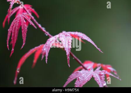 Wet leaves of Japanese Maple - Stock Photo
