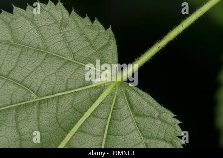 Sommer-Linde, Sommerlinde, Linde, Blattunterseite,Tilia platyphyllos, Tilia grandifolia, large-leaved lime, Large - Stock Photo
