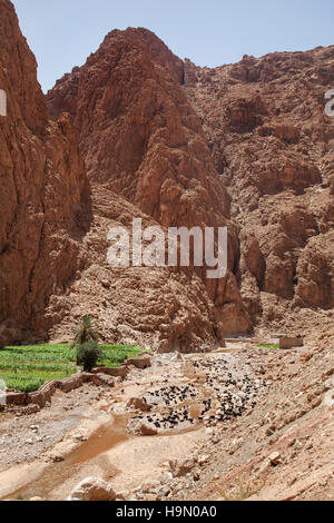 Goats in the Todra Gorge, Morocco. - Stock Photo