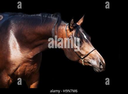 portrait  of beautiful  bay arabian colt - Stock Photo