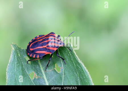 Italian striped-bug, Minstrel Bug (Graphosoma lineatum) - Stock Photo