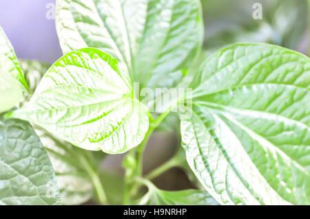 Piper sarmentosum leaf or Piper sarmentosum plant - Stock Photo