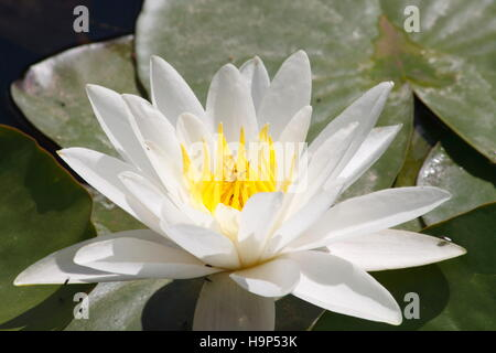 White Water Lilly ( Nuphar Lutea) - Stock Photo