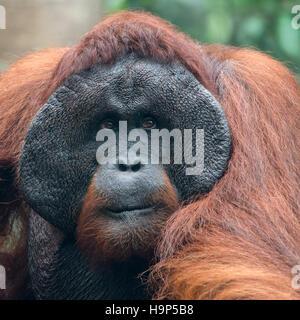Portrait Male Bornean Orangutan - Stock Photo