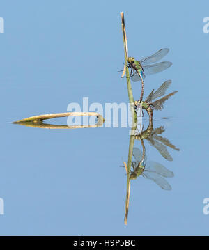 Mating Dragonflies with Reflection - Stock Photo