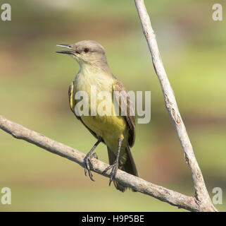 Cattle Tyrant (Machetornis rixosa) perched soft background - Stock Photo