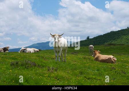 Cattle in a pyrenean meadow near Roncesvalles, Navarra, Spain - Stock Photo