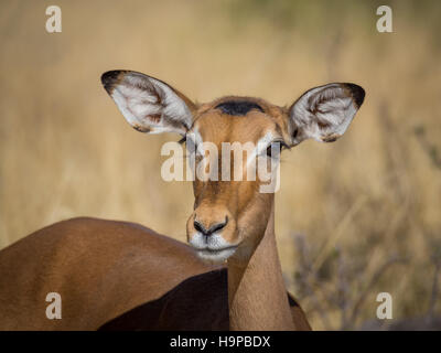 Closeup portrait of beautiful curious impala antelope with big ears and eyes in Moremi National Park, Botswana, - Stock Photo