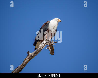 Portrait of African Fish Eagle sitting on dead tree branch with lots of blue sky, Moremi NP, Botswana - Stock Photo
