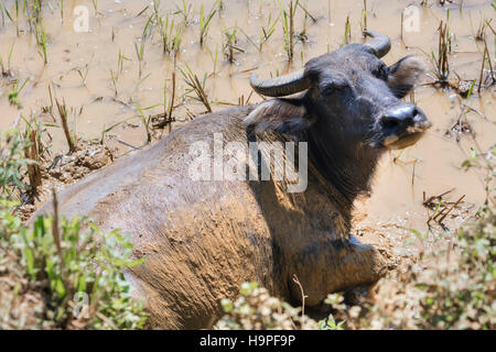 water buffalo in paddy fields in Lao Chai, Sapa, Vietnam, Asia - Stock Photo