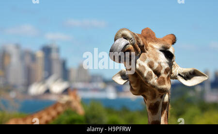 Funny Giraffe poking a tongue out against Sydney skyline in Taronga Zoo in Sydney New South Wales, Australia. - Stock Photo